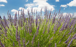 Lavender in the French Provence Royalty Free Stock Images