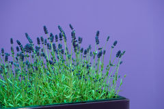 Lavender in front of a purple wall Stock Images