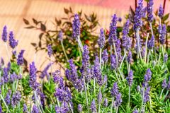 Beautiful image with lavender in full bloom lowers the morning sun stock photo