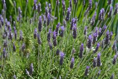 Lavender in full bloom in a Spanish garden royalty free stock photo