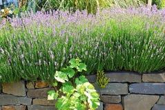 Lavender in full blossom Stock Images