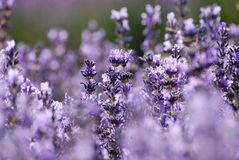 Lavender in garden. Blue lavender in garden on a summer day Stock Photography