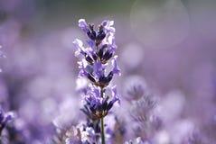 Lavender in garden stock photos