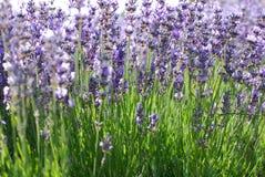 Lavender in garden royalty free stock photo