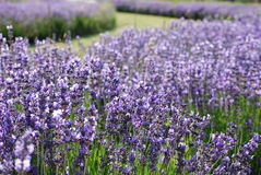 Lavender in garden. Blue lavender in garden on a summer day Royalty Free Stock Image