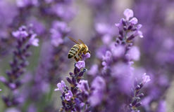 Lavender in the garden. With bee Royalty Free Stock Images