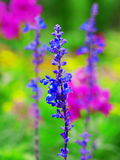 Lavender in garden. Of park Stock Images