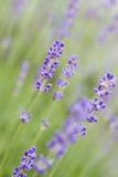Lavender in the garden Stock Image