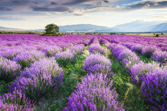 Lavender Garden. Splendid lavender field at sunset