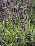 Lavender in a garden. Beautiful lavender in a garden Stock Photography