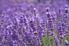 Lavender garden. Beautiful Violet lavender in garden Royalty Free Stock Photo