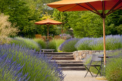 Lavender garden in bloom. Lavender garden with outdoor sitting area, focus in on the foreground Stock Photos
