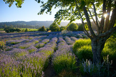 Lavender garden in bloom. Scenic view of lavender garden sun about to set Stock Image