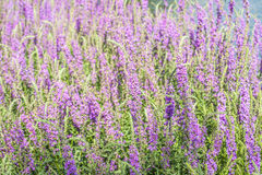 Lavender garden. Blooming Lavender in the garden Royalty Free Stock Photo