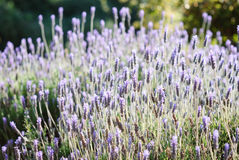 Lavender in the garden Stock Images