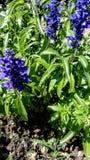 Lavender in the garden. Blue flowers of lavender. Ornamental plant of flower gardens stock images