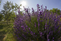 Lavender in garden Royalty Free Stock Images