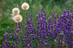 Lavender in a garden Stock Photography