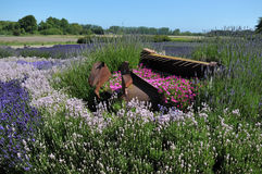 Lavender garden in a farm Stock Photo