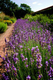 Lavender garden flower bed Stock Images