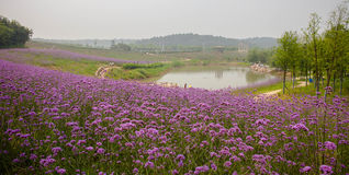 Lavender Garden. Located in the city suburb of lavender garden Royalty Free Stock Images