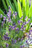 Lavender garden in the morning. Closeup of tiny purple flowers of lavender in the morning rays Royalty Free Stock Photography