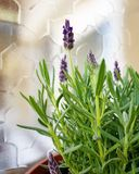 Lavender in the garden. Lavender garden plant green spring purple flower  balcony aroma stock image