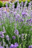 Lavender. In garden on the spring Stock Photos