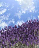 Lavender. Royalty Free Stock Image