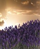 Lavender. Stock Image