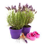 Lavender with garden tools. Lavender Stoechas plants with garden tools and shoes Royalty Free Stock Images