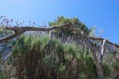 Lavender garden view Mallorca Royalty Free Stock Photo