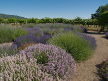 Lavender Garden with Vineyard. Formal lavender garden in bloom with a variety of types of lavender plants with gravel path around plants and grape vineyard in Stock Photography