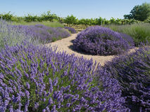 Lavender Garden with Vineyard. Formal lavender garden in bloom with a variety of types of lavender plants with gravel path around plants and grape vineyard in Royalty Free Stock Images