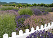 Lavender Garden with Vineyard. Formal lavender garden in bloom with a variety of types of lavender plants with gravel path around plants and grape vineyard in Stock Photo