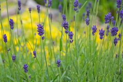 Lavender in the garden Stock Photography