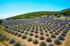 Free Lavender Gardens Stock Photos - 168565283
