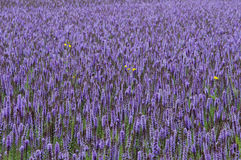 Lavender giant hyssop Agastache foeniculum. Agastache foeniculum blue giant hyssop; syn. Agastache anethiodora Nutt. Britton, commonly called anise hyssop, blue royalty free stock photography