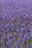 Lavender giant hyssop Agastache foeniculum royalty free stock images