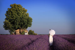 Through Lavender. A girl in a white dress holding an umbrella walking towards an old house amidst lavender. Provence, France Royalty Free Stock Image