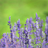 Lavender on green background Stock Photo