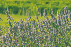 Lavender with a green background. Lavender with green background and sun Stock Photography