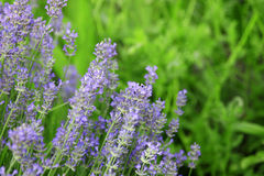 Lavender. In the green, summer garden Royalty Free Stock Photo