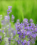 Lavender. In the green, summer garden Stock Images