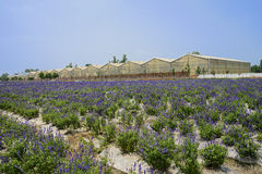 Lavender before greenhouses in sunny summer Stock Photography