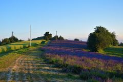 The road to lavender field. Lavender grooves, some trees, blue sky and road in the field Stock Photos