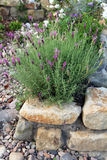 Lavender growing in a cottage garden. Stock Image