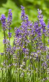 Lavender. Lavender growing in the   field Stock Images
