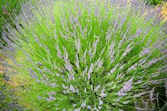 Lavender growing in field. A close up of lavender plants growing in the field Royalty Free Stock Images