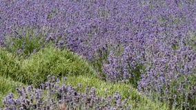 Lavender growing in field of green stock footage